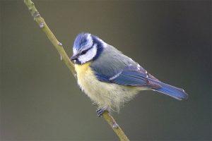 Mésange bleue - photo Romain RIOLS